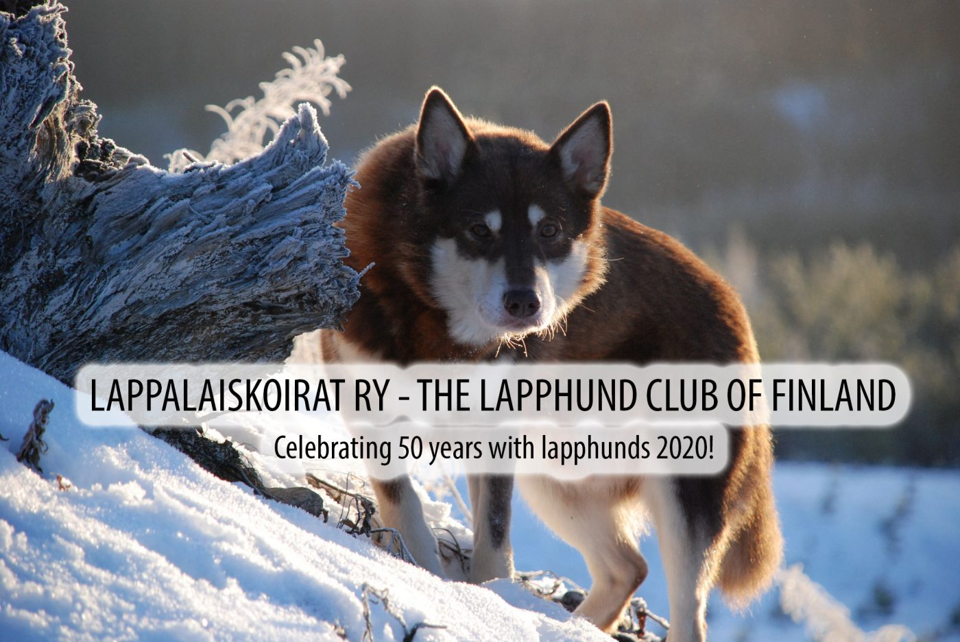Lappalaiskoirat ry 50 vuotta- The Lapphund Club Of Finland 50th anniversary